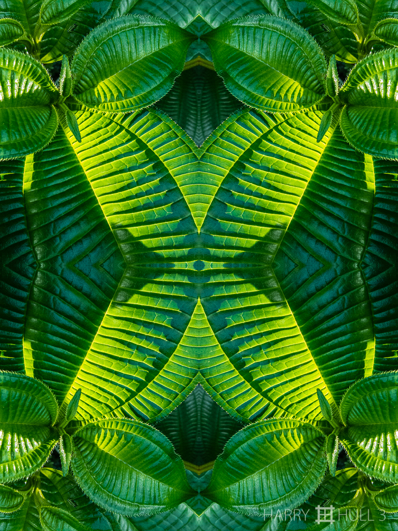 Melastome matrix: version 1. Photo of melastome leaves, Finca Cantaros, San Vito, Costa Rica.