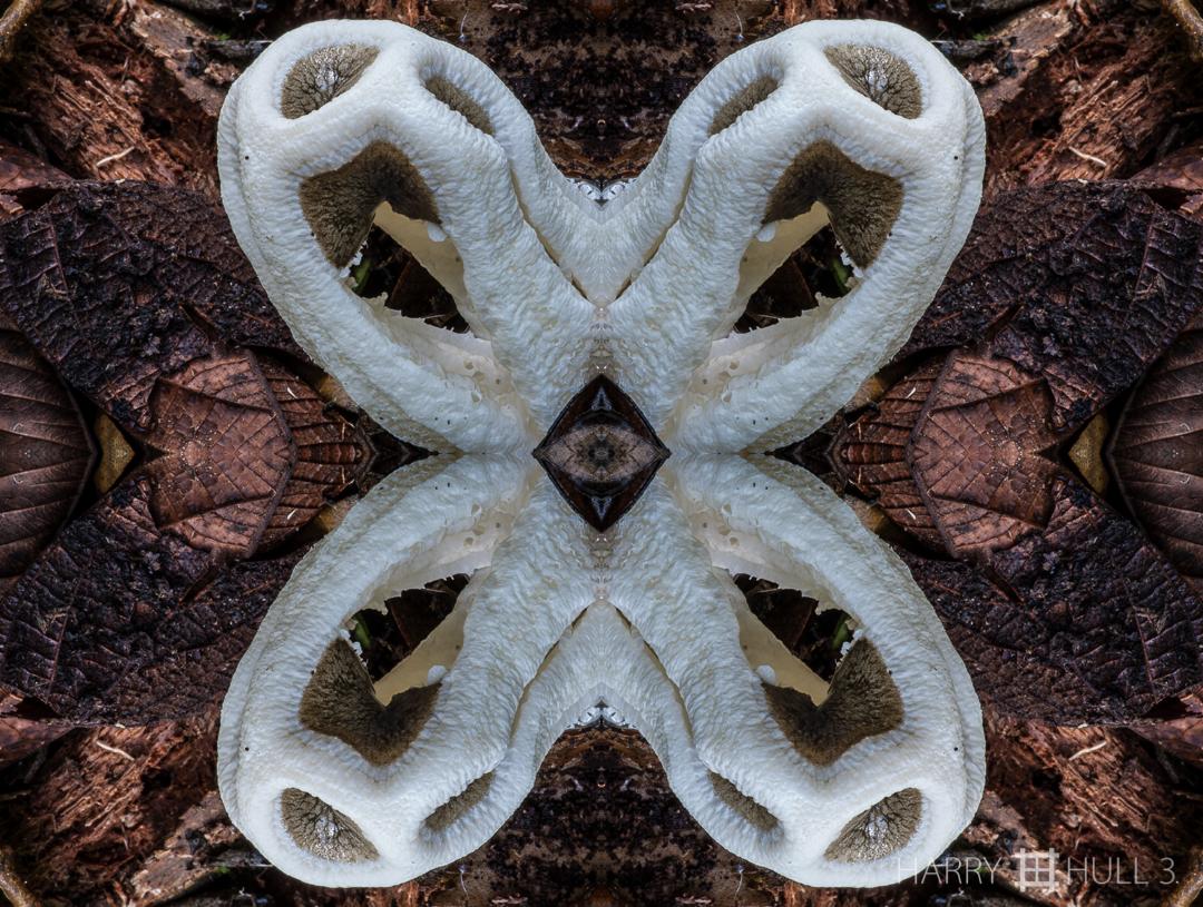 Mushroom matrix. Photo of stinkhorn mushroom emerging from forest floor, Finca Cantaros, San Vito, Costa Rica.