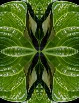 Leaf convolution. Photo close-up of anthurium leaf, Finca Cantaros, San Vito, Costa Rica.