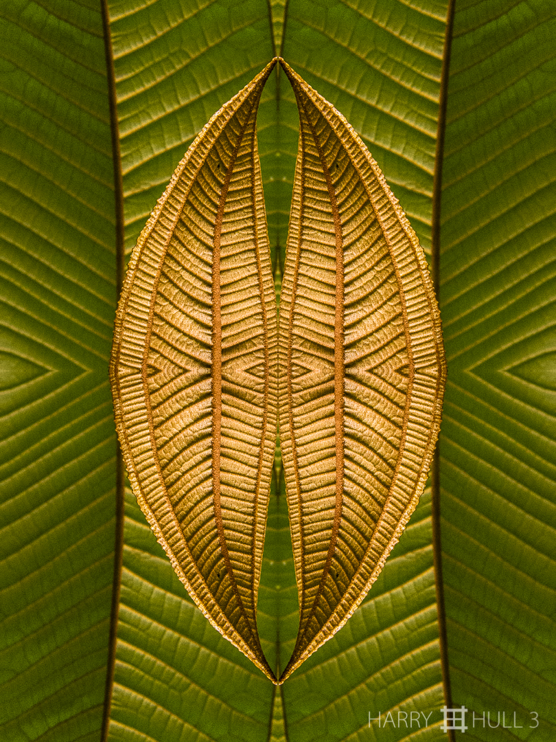 Leaf quilt. Photo of emerging and older melastome leaves, Finca Cantaros, San Vito, Costa Rica.