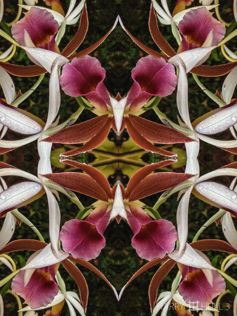 Orchid ballet. iPhone photo of orchids, Finca Corteza, San Vito, Costa Rica.