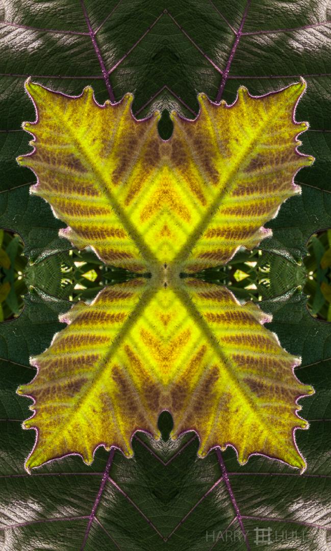 Leaf light: Naranjilla. Photo of new leaf emerging on Naranjilla plant, Finca Cantaros, San Vito, Costa Rica.