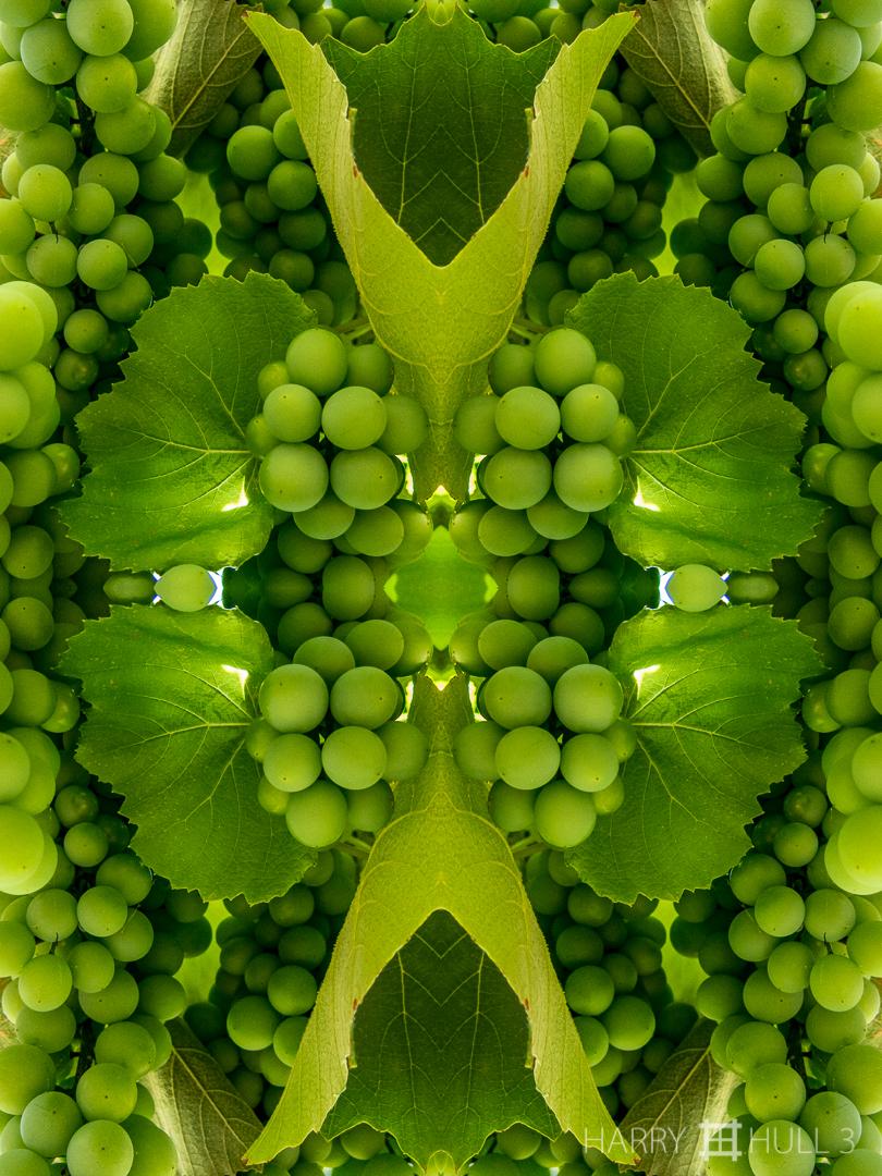 Green grapes. Photo close-up of Concord grape cluster at Hacienda la Amistad, Las Mellizas, Costa Rica.