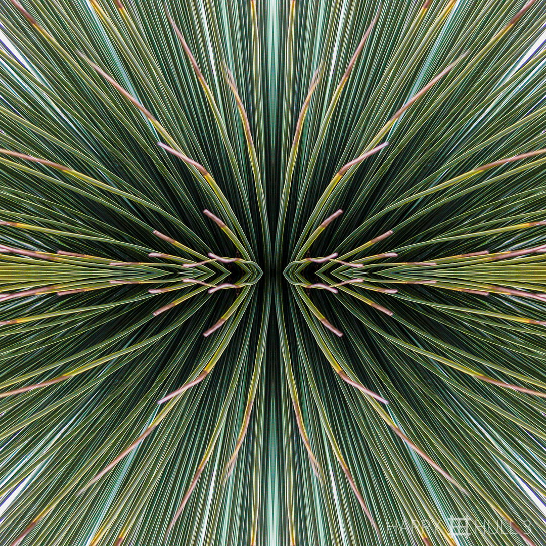 Op art agave. Photo of thin spikes of an agave in the Strybing Arboretum, Golden Gate Park, San Francisco, California.