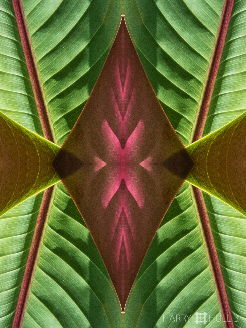 Life force. Photo close-up of part of a new unfurling heliconia leaf, Paraiso de Heliconias, San Vito, Costa Rica.