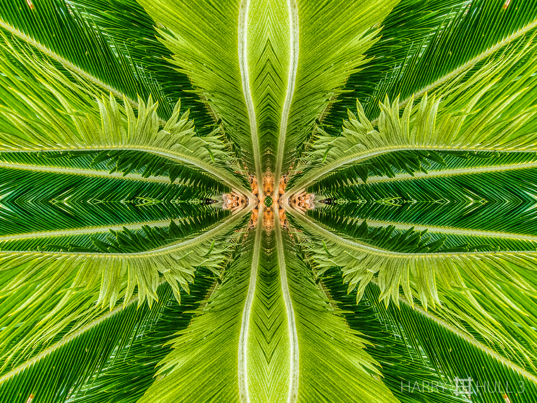 Cycad amazement: expression 1. Photo of cycad leaves, private garden in Santa Elena de Heredia, Costa Rica.