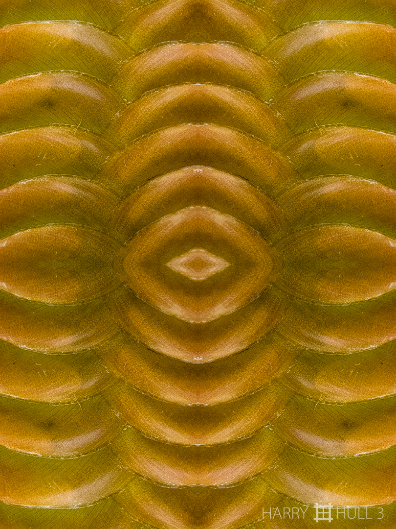 Crescent sandwich. Photo close-up of maranta inflorescence, Finca Cantaros, San Vito, Costa Rica.