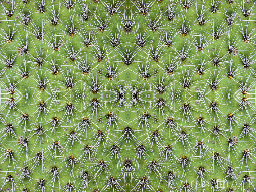 Spine dance. Photo close-up of cactus lobe, Strybing Arboretum, Golden Gate Park, San Francisco, California.