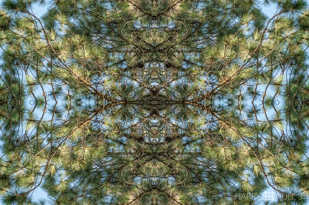 Pine needlepoint. Photo of pine tree branches overhead, Finca Cantaros, San Vito, Costa Rica.