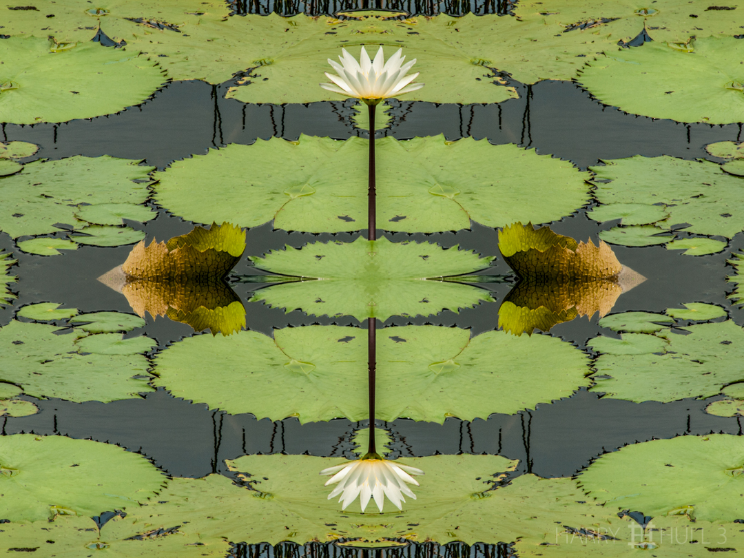 Pond pattern. Photo of water lily and lily pads, Laguna Seca near Chan Chich Lodge, Belize.