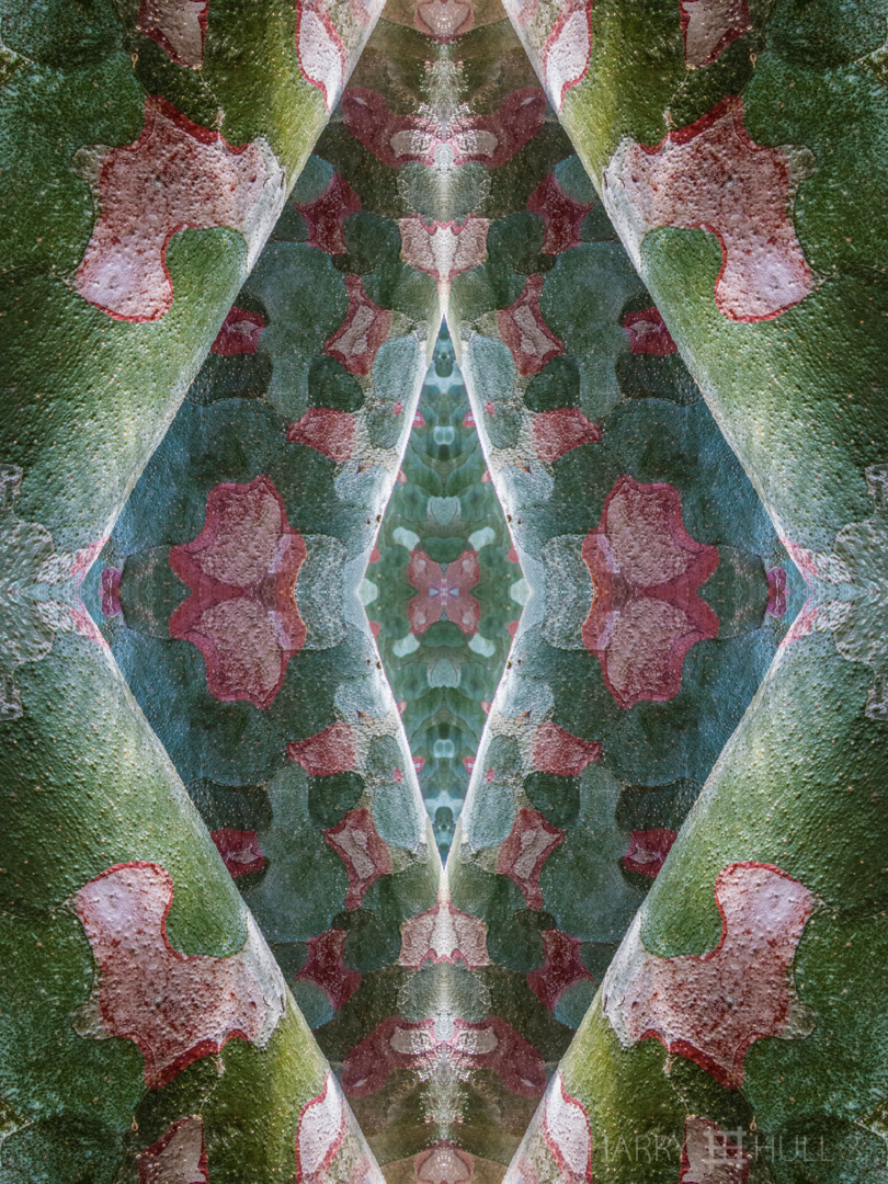 Camouflage geometries. Photo of the bark of a Lacebark Pine (Pinus bungeana), Denver Botanic Garden, Denver, Colorado.
