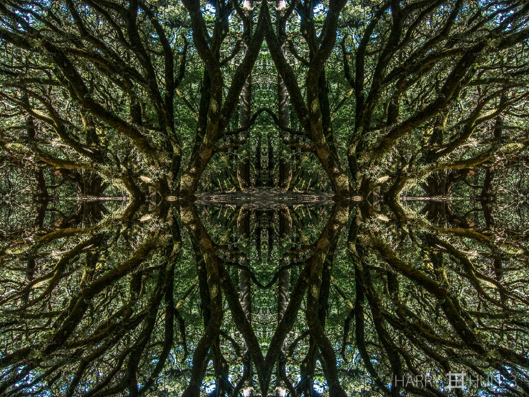 Oak orgy. Photo of oak trees in forest on Matt Davis Trail, Mount Tamalpais State Park, Marin County, California.
