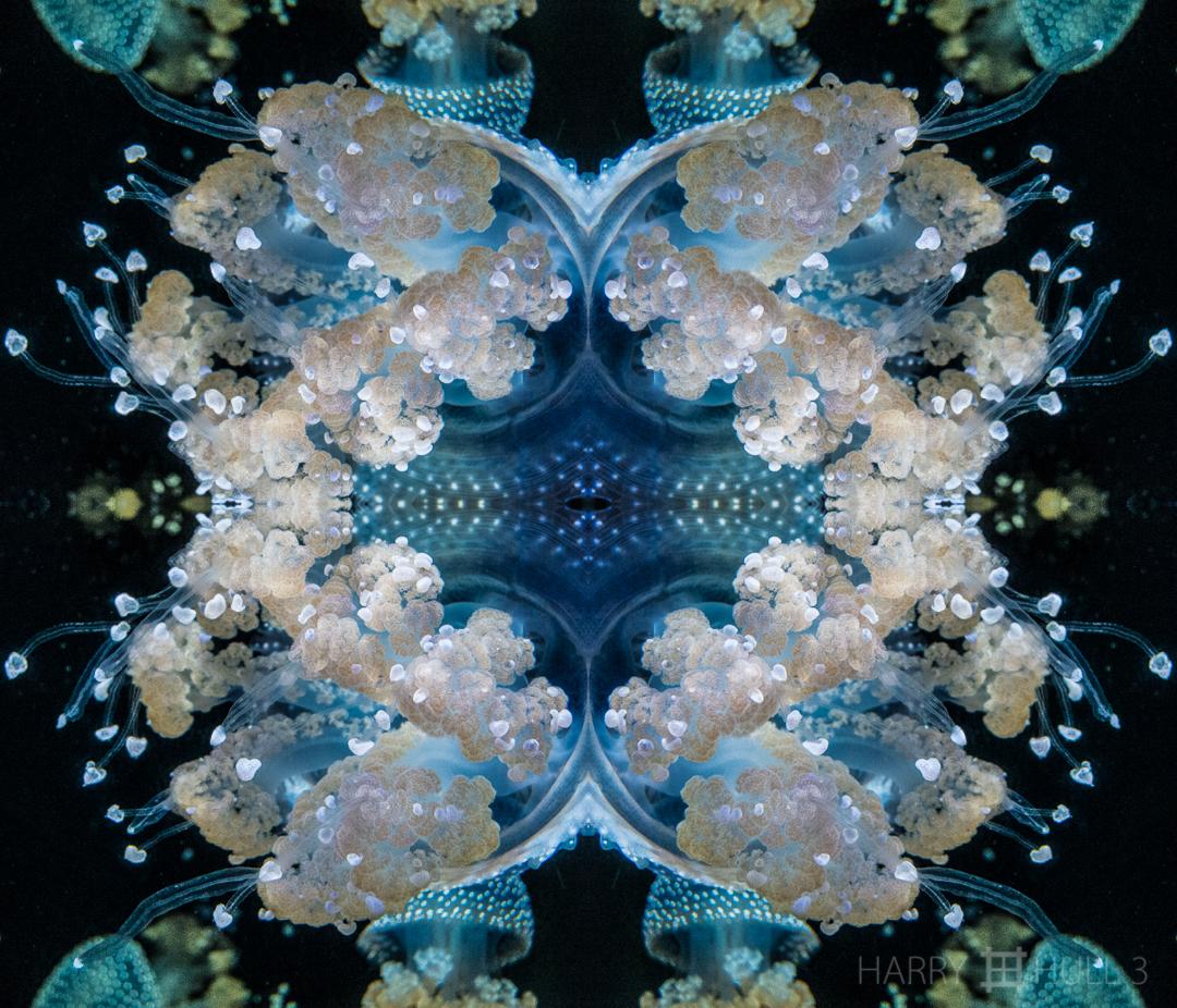 Jelly nebulae. Photo close-up of White spotted jelly (Phyllorhiza punctata), California Academy of Sciences aquarium, San Francisco, California.