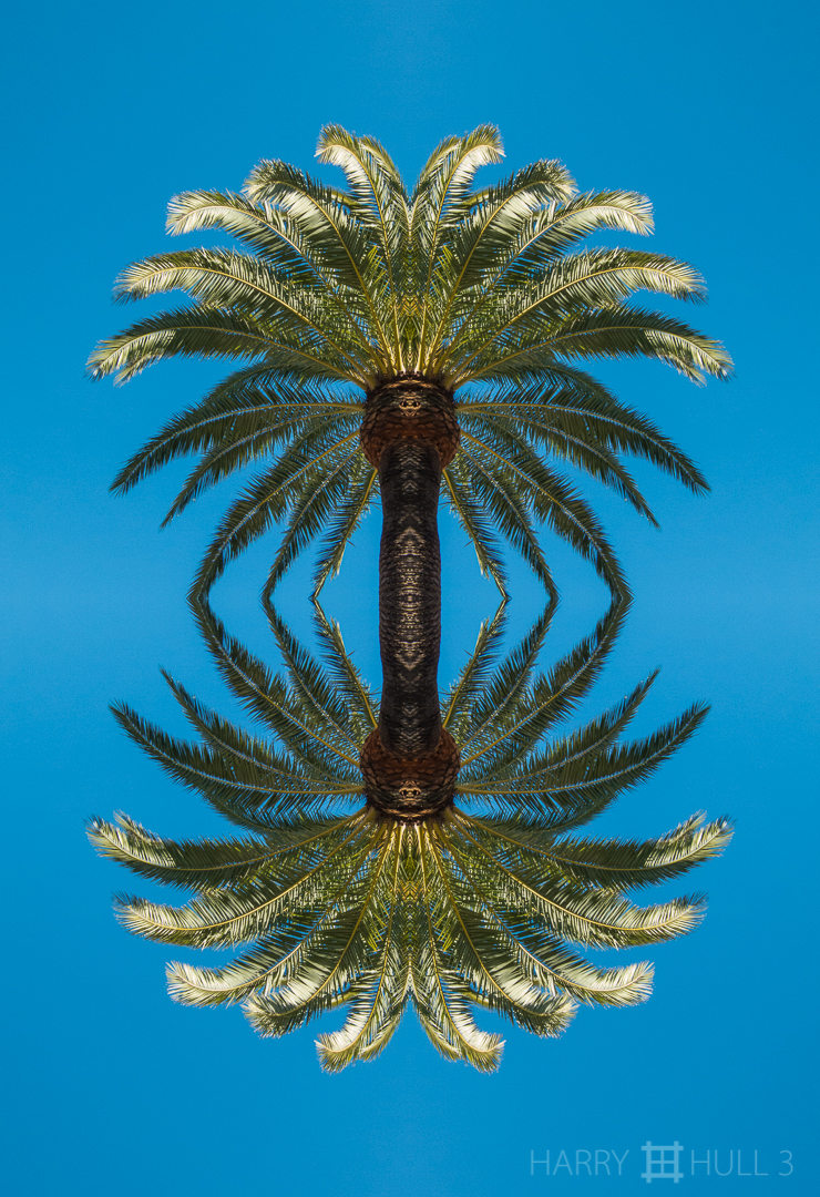Palms up and down. Photo of the crown of a palm tree in Golden Gate Park, San Francisco, California.