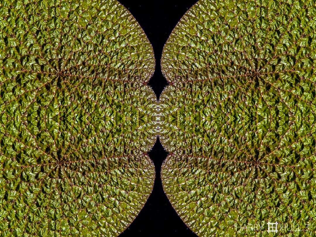Leaf relief. Photo close-up of water lily pad, Denver Botanic Garden, Denver, Colorado.