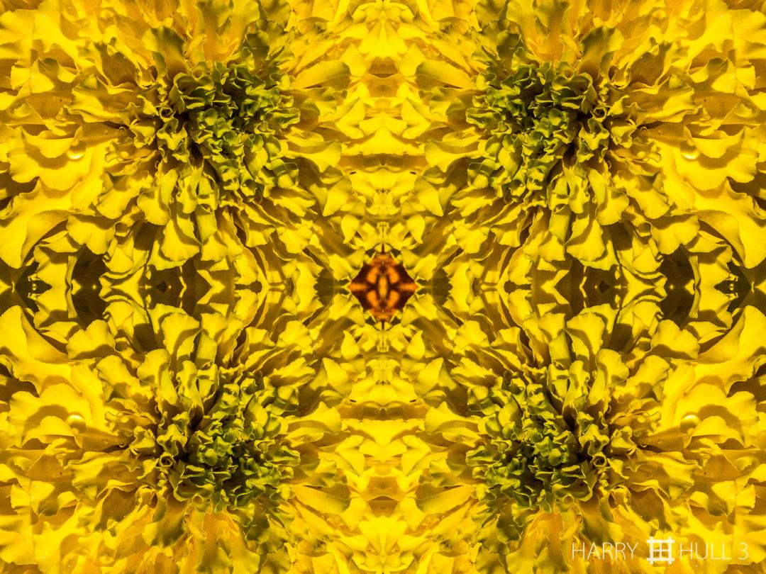 Folded gold. Photo close-up of a Marigold flower, Denver Botanic Garden, Denver, Colorado.