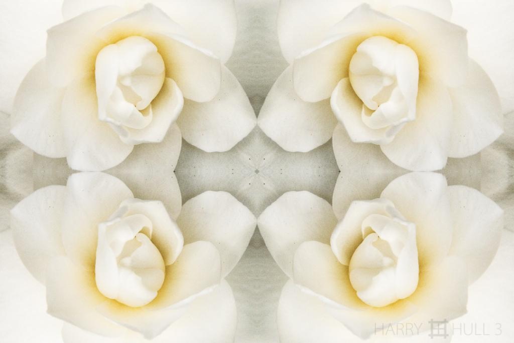 White unfolding. Photo close-up of a Gardenia in a garden in San Francisco, California.