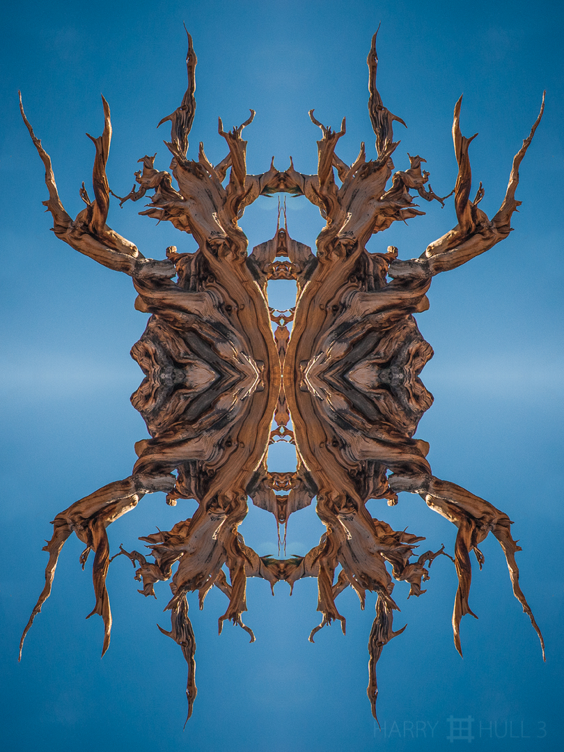Dendriforma. Photo of ancient Bristlecone Pine, White Mountains, California.