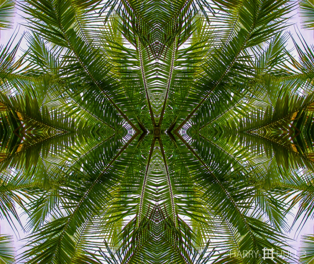 Web of fronds. Photo of palm tree fronds, Keawaiki, Kona Coast, Island of Hawaii.