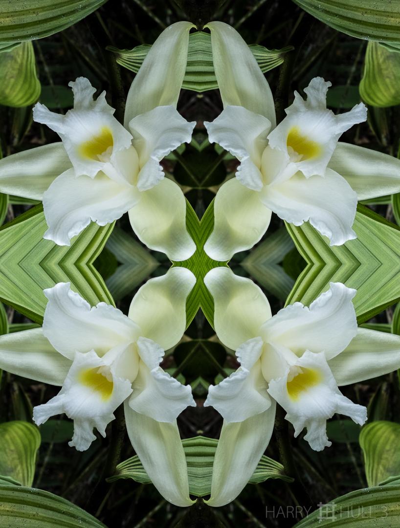 Orchid orchestra. Photo of Sobralia Orchid, Finca Corteza, San Vito, Costa Rica.