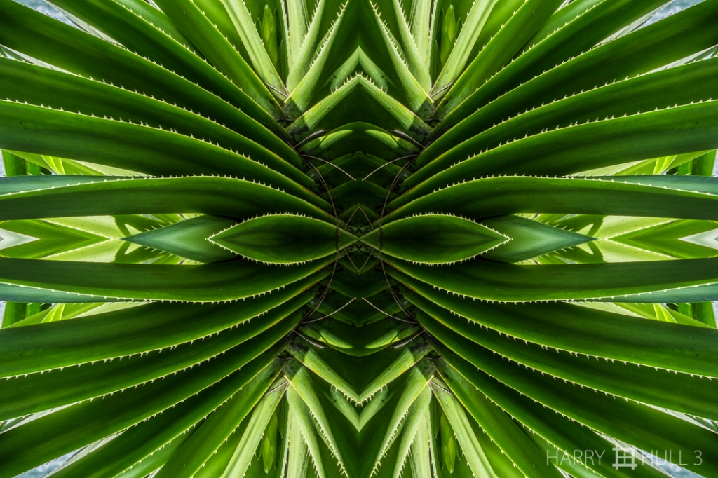 Toothiness. Photo of spiny leaves of a succulent plant in the Hawaiian Tropical Botanical Garden, Big Island of Hawaii.