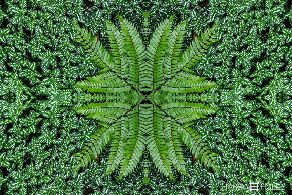 Embayed fern (Mandala-HH3-150620-5487F-Edit)
