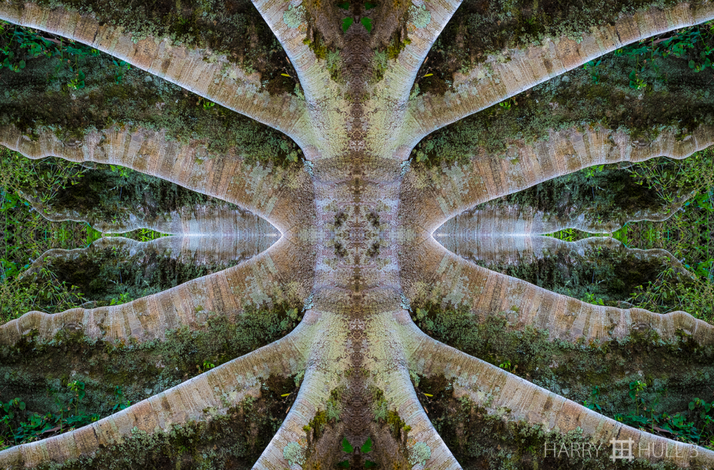 Buttress tree (Mandala-HH3_160131_7121F-Edit-2)
